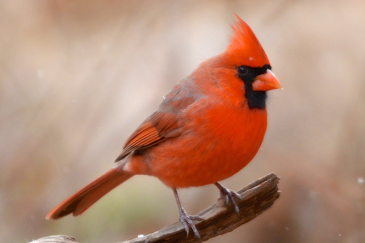 Fun facts and trivia about northern cardinals buycottarizona Images