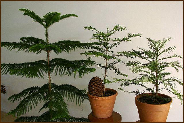 growing norfolk island pine indoors. Black Bedroom Furniture Sets. Home Design Ideas