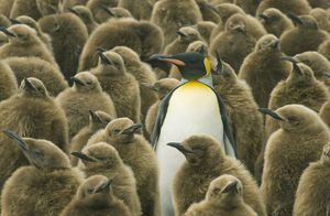 A King Penguin standing out from a sea of chicks, just as your essay should stand out.