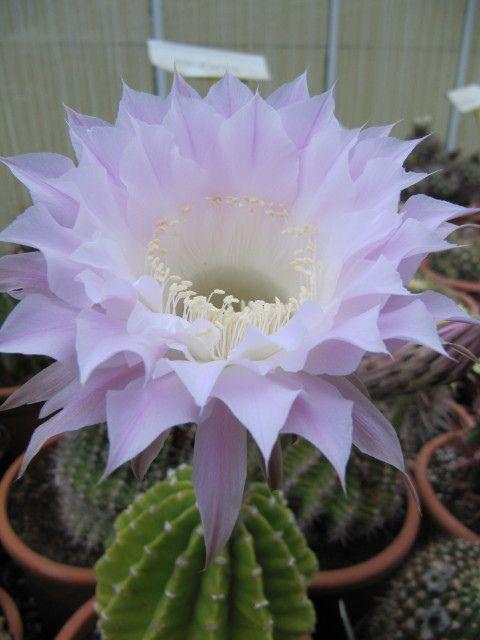 echinopsis, cacti, south america