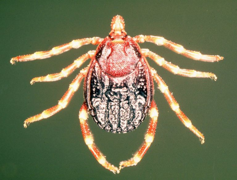 Hyalomma marginatum ticks