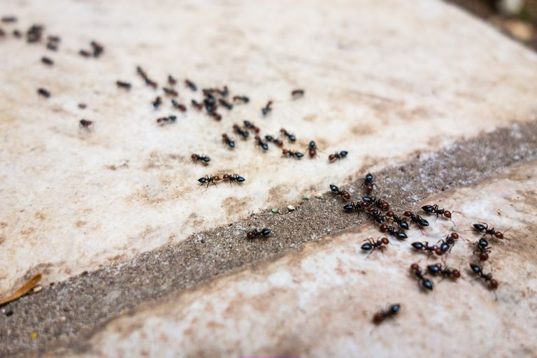 Ants use pheromones to mark their trails and communicate with each other.