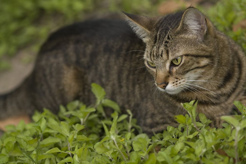 Tabby cat post-catnip