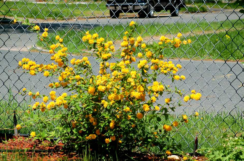 Kerria shrub (image) is a heavy bloomer in spring. It periodically reblooms.