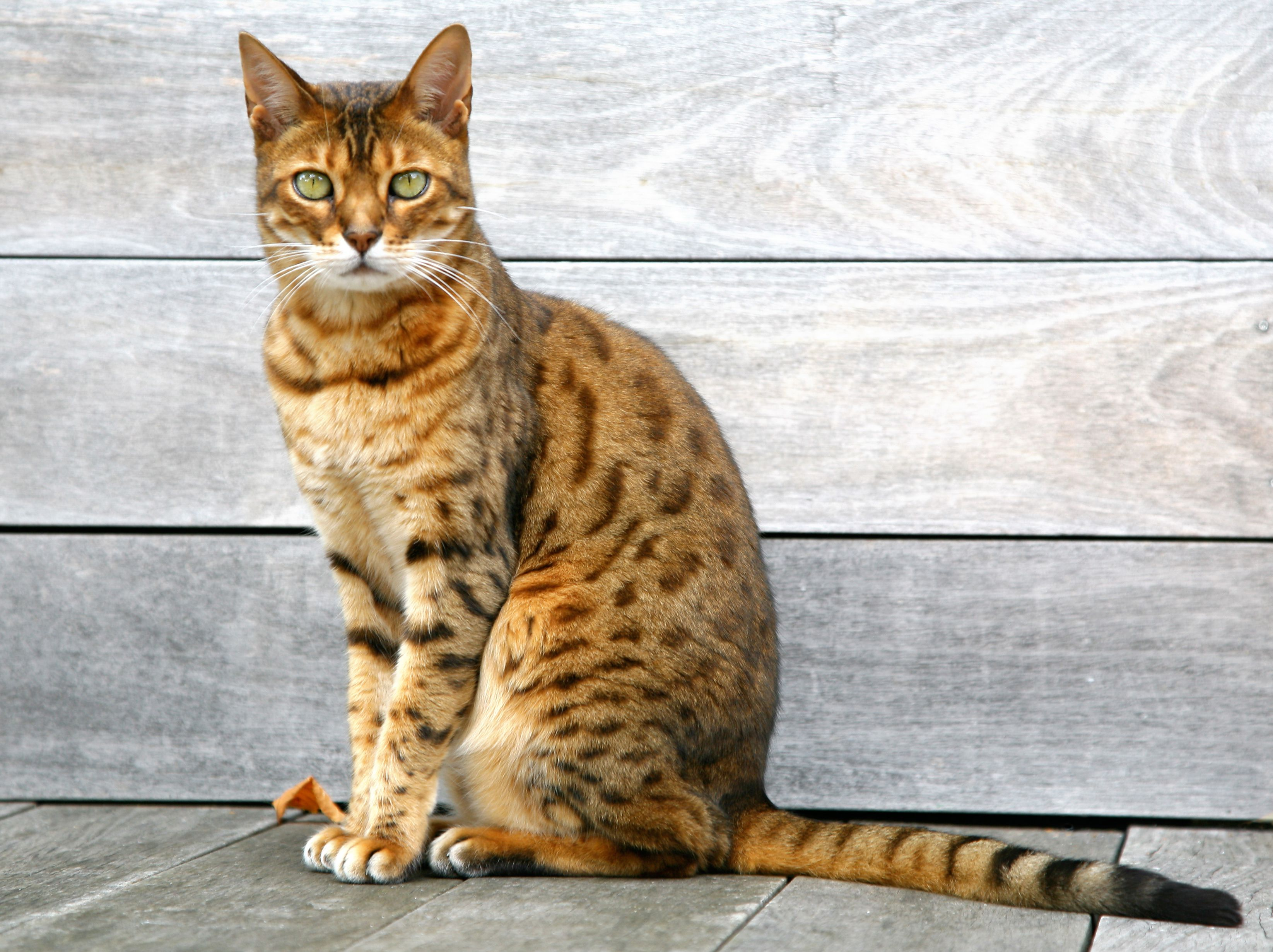Seven Hybrid Cat Breeds Profiles of Hybrid House Cats