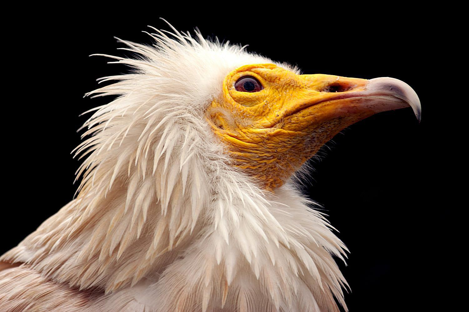 complete list of vulture species and types