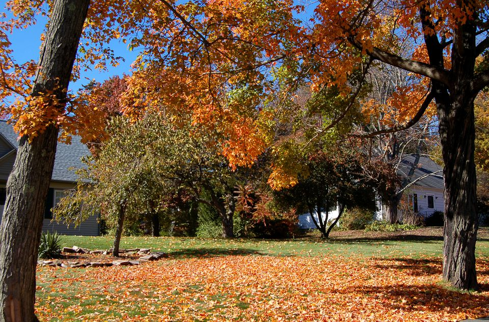 Image showing maple leaves that have fallen on a lawn.
