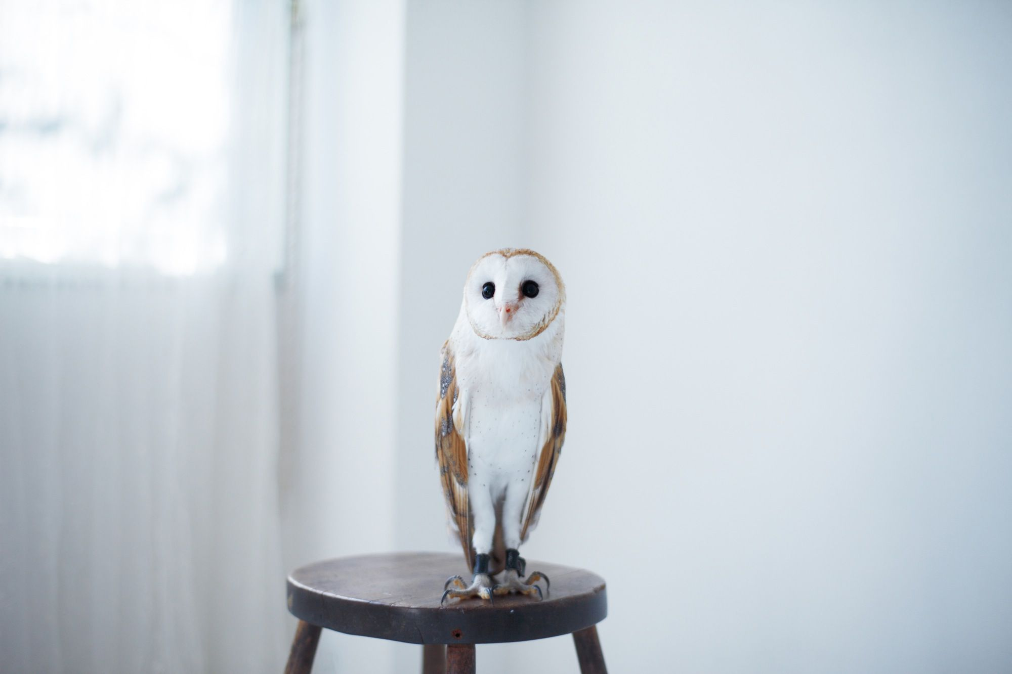 Do Owls Make Good Pets Things You Should Consider - Meet the cuddly owl who loves landing on people