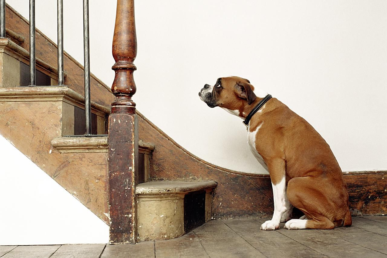 Is Your Dog Afraid Of Stairs