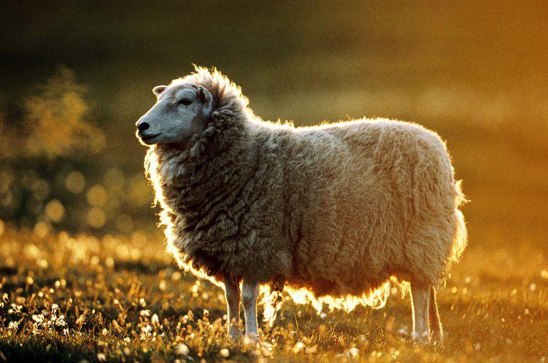 sheep - lexeme
