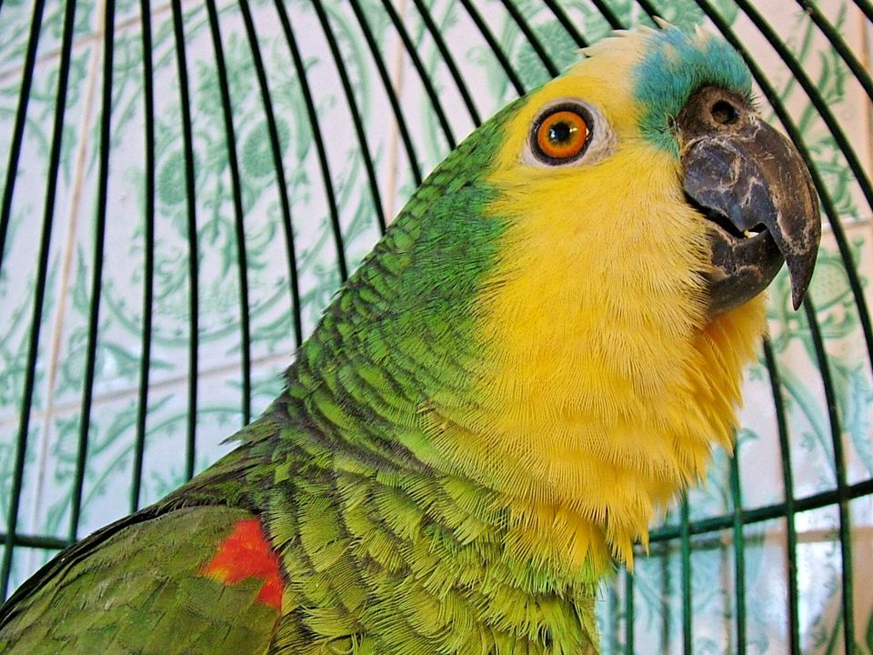 Blue-fronted Amazon, also called the Turquoise-fronted Amazon and Blue-fronted Parrot. A pet parrot in a round cage. Photograph shows head and neck.