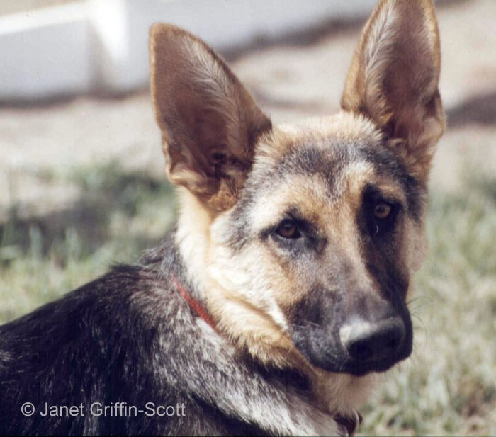 how to draw a german shepherd face easy