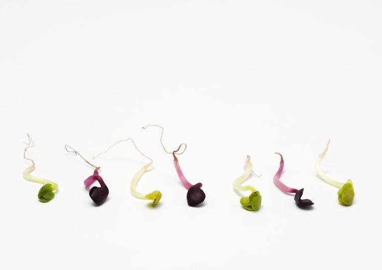Fenugreek and radish sprouts as metaphor for sperm / semen