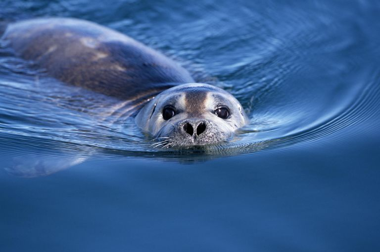 Harbor Seal (Phoca vitulina) swimming, close-up