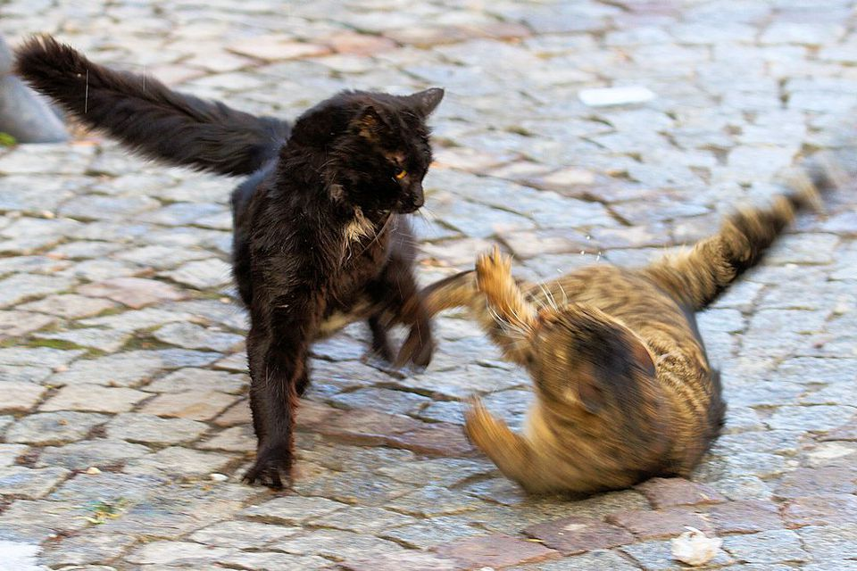 Photo of Two Cats Fighting in the Street