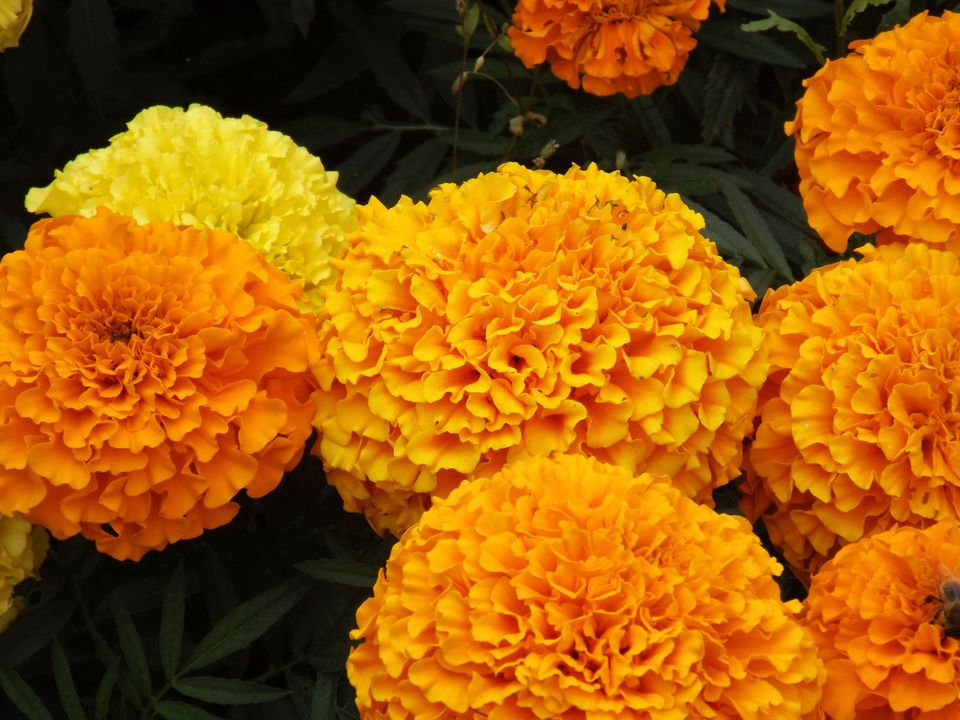 Close-Up Of Marigold Flowers In Park