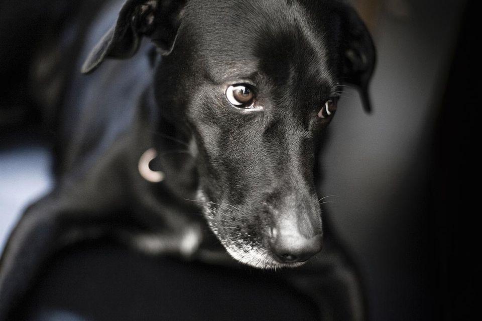 A black dog, Sweden.