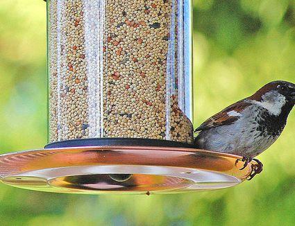 wild bird wbu unlimited foundational birds feeders feeder
