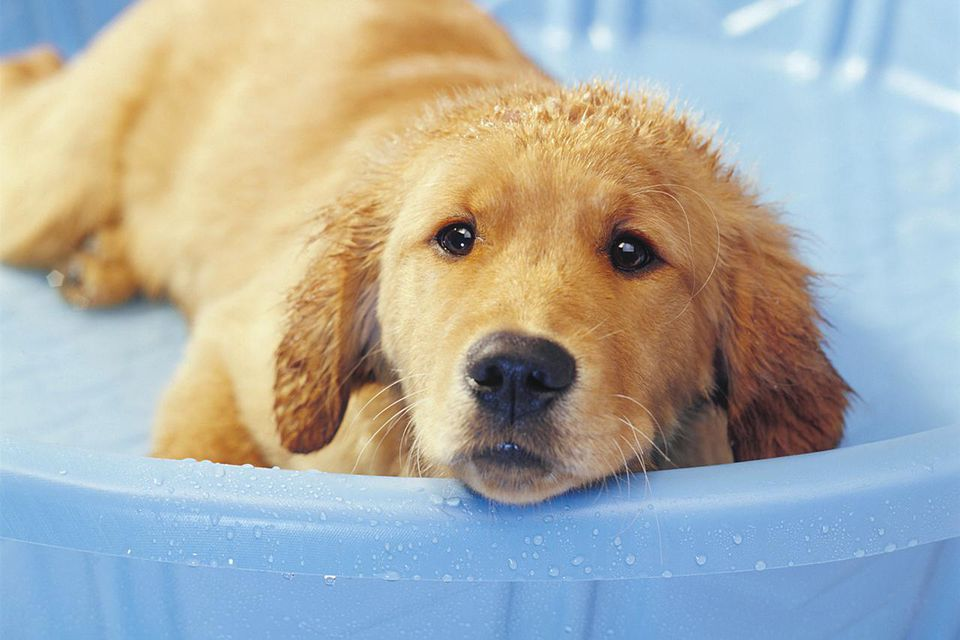 Golden Retriever Puppy in Bath