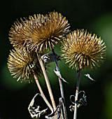 picture of burs