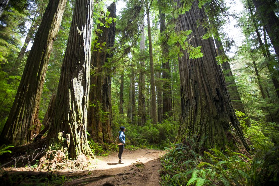 A hiker in California's Redwood National Park