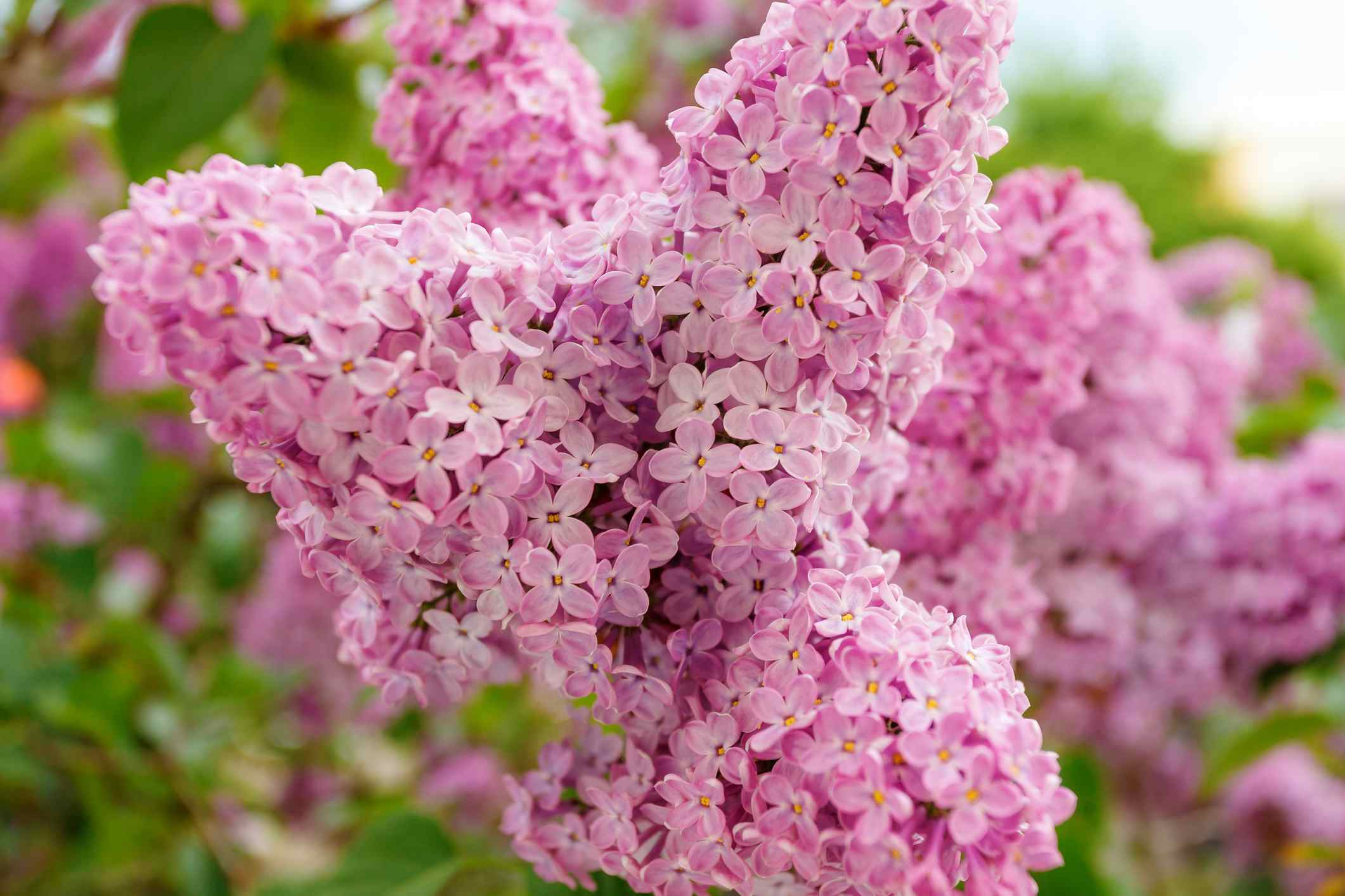 Best shrubs with pink or magenta flowers mightylinksfo