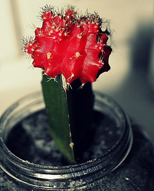 How To Grow Grafted Ruby Ball Cactus