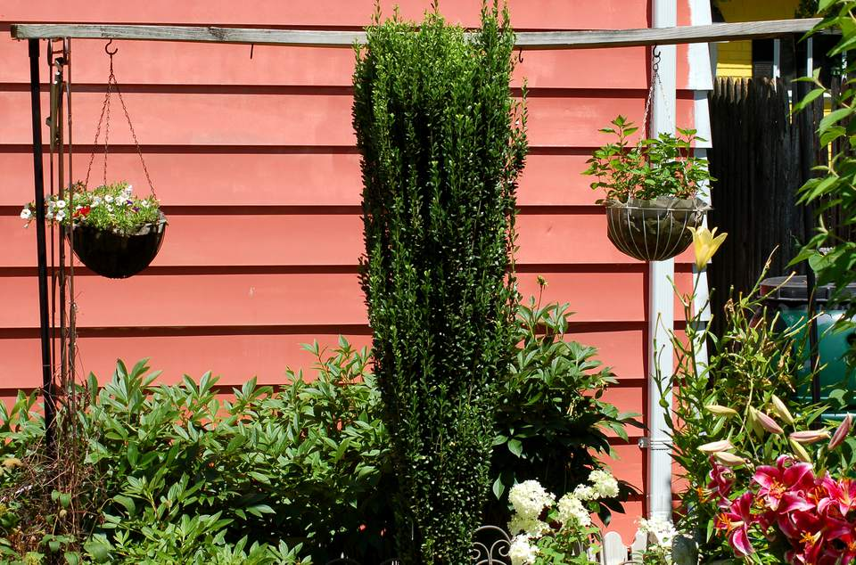 Sky Pencil holly (image) is proportionately thin. Its plant form is considered columnar.