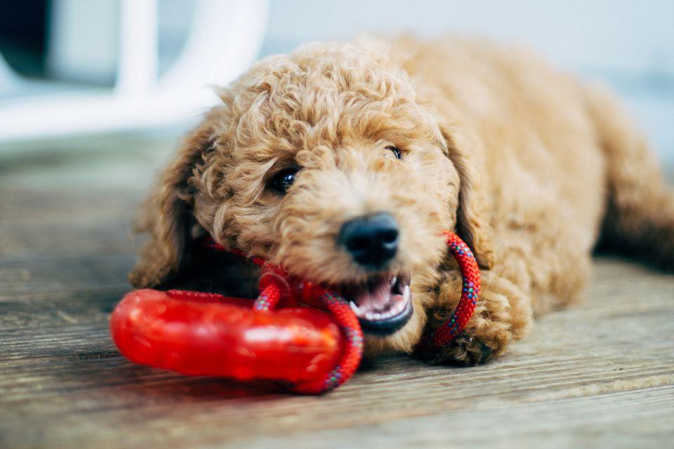 Dog holding toy