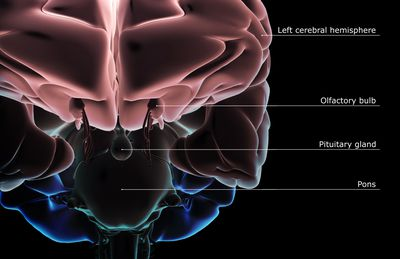 Divisions of the Brain - Forebrain, Midbrain, Hindbrain