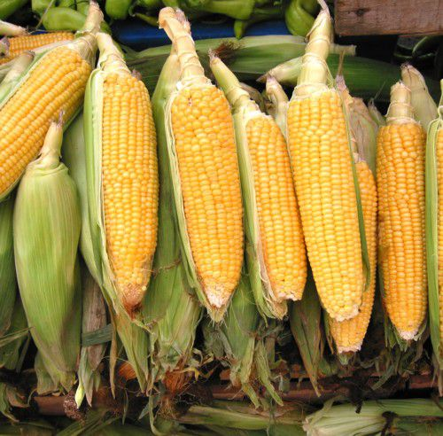 Corn - Growing Sweet Corn