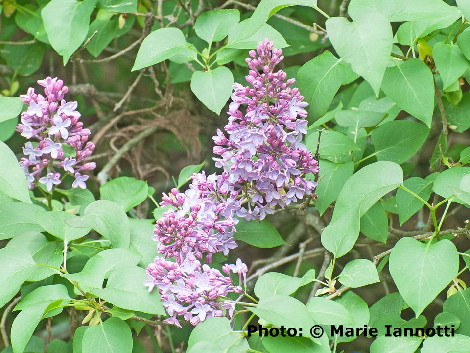 When to Prune Lilac Shrubs.