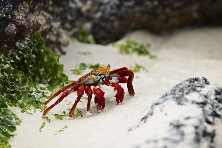 Red rock crab (Grapsus grapsus), a type of crustacean
