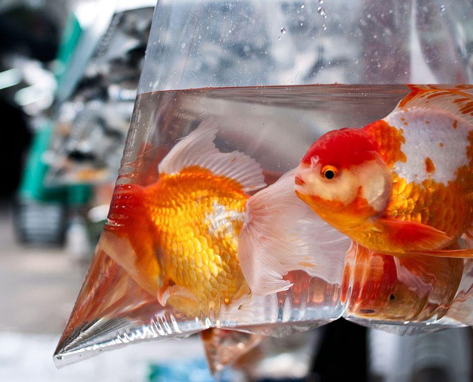 Bagged Goldfish