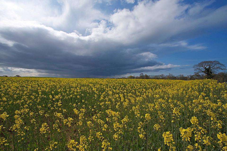 Raps - Rapeseed Fields