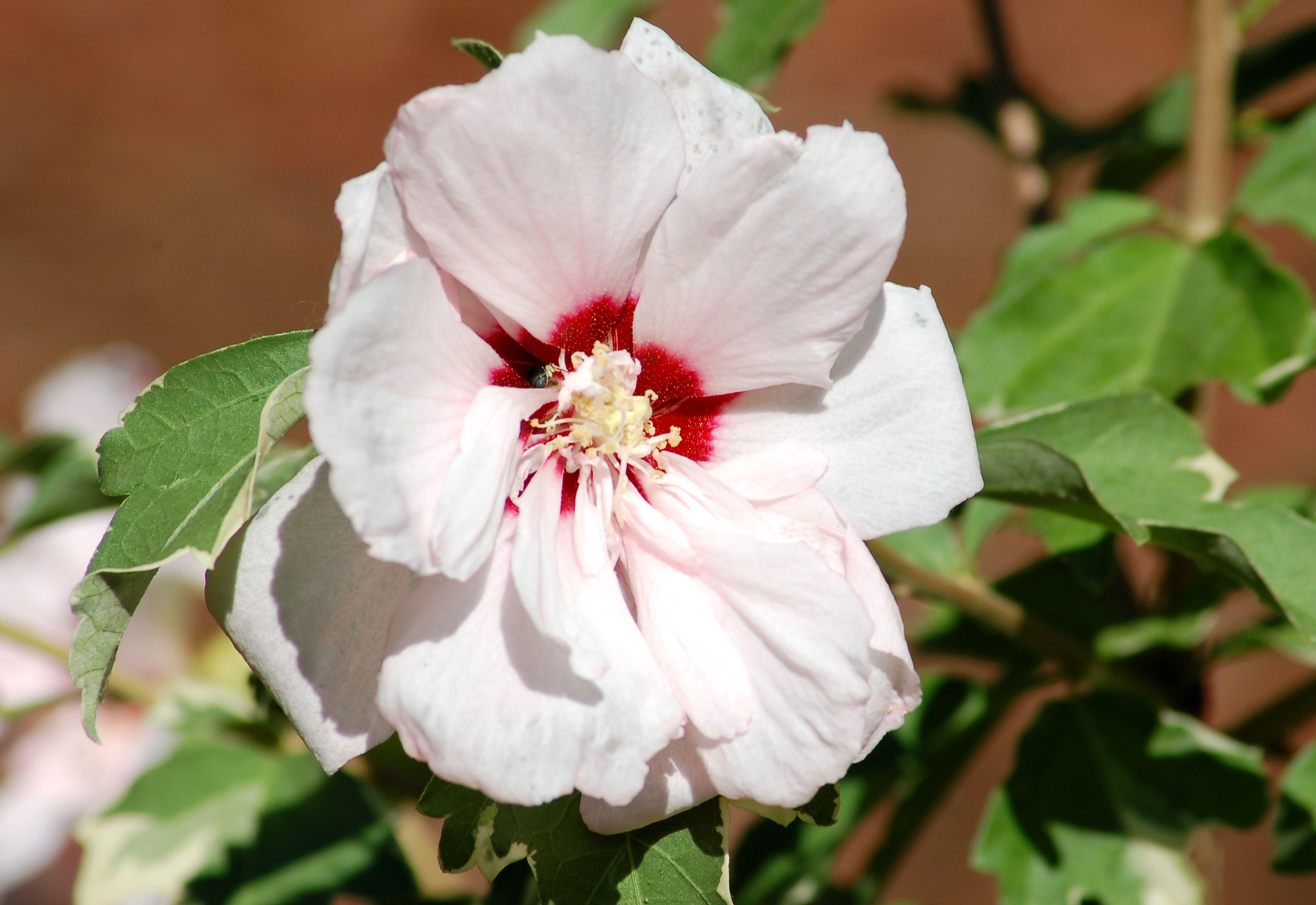 Double rose of sharon sugar tip izmirmasajfo Gallery
