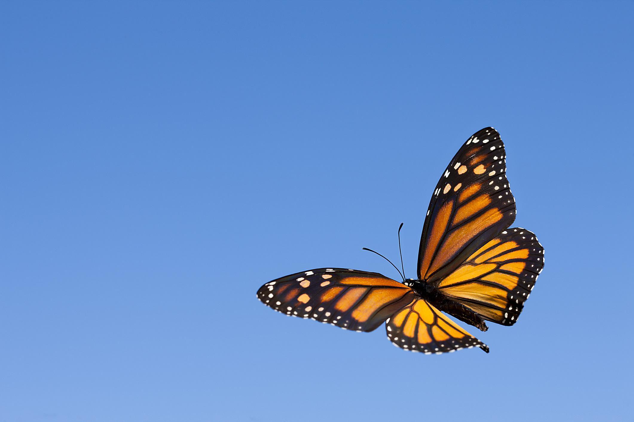 some monarch butterflies don u0027t migrate