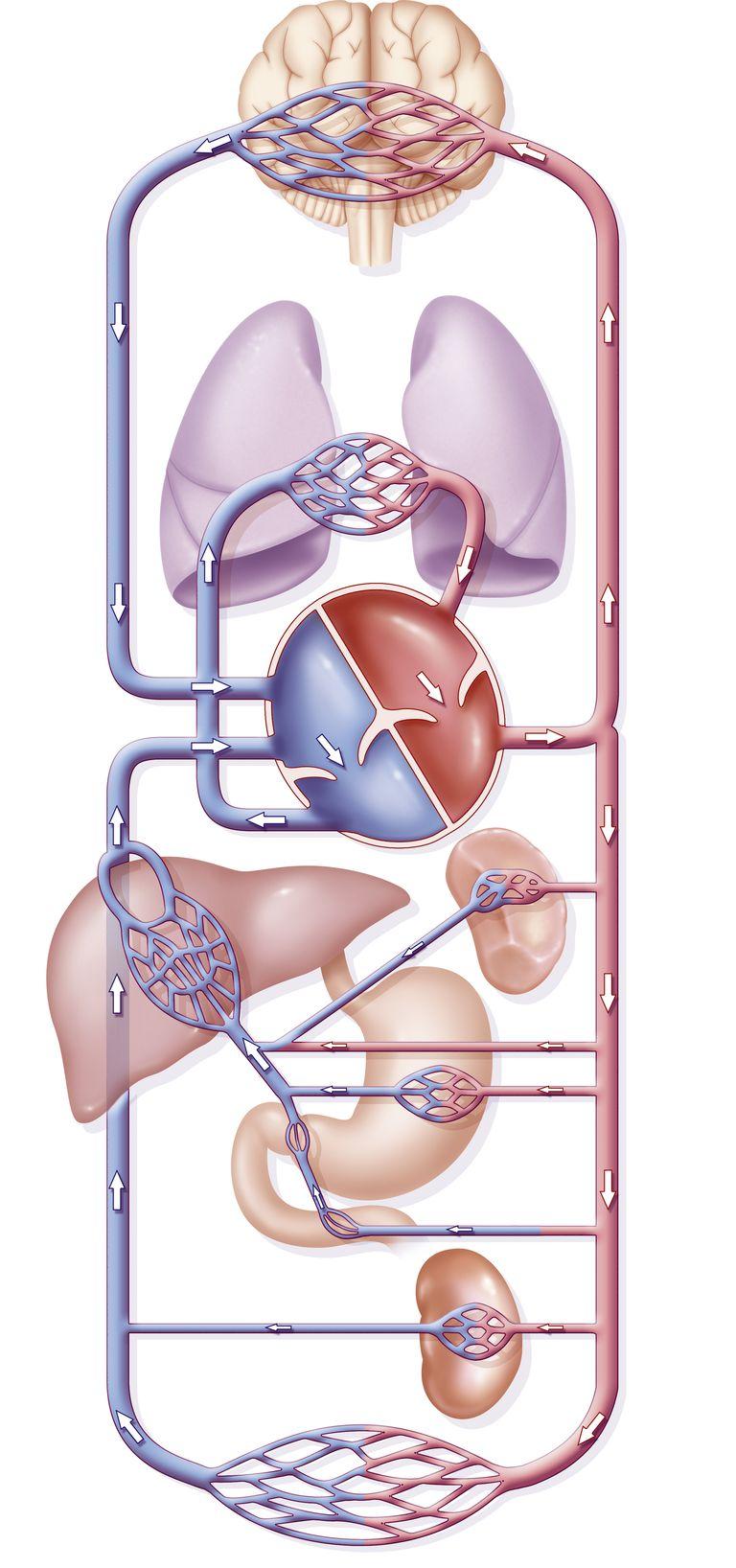 que es la circulacion pulmonar, sistema cardiovascular,