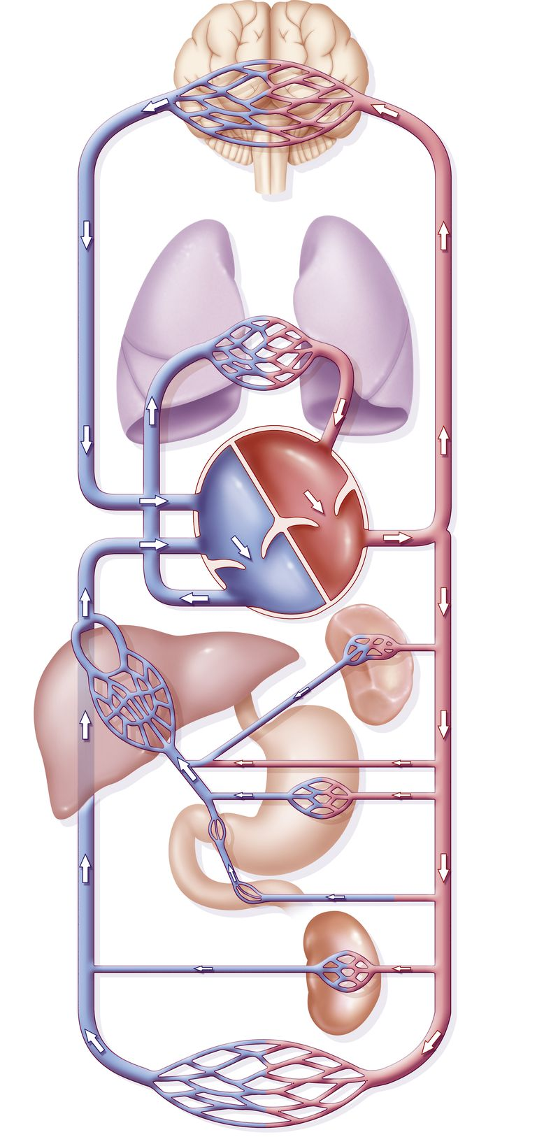 Circuito Sanguineo : Sistema circulatorio pulmonar