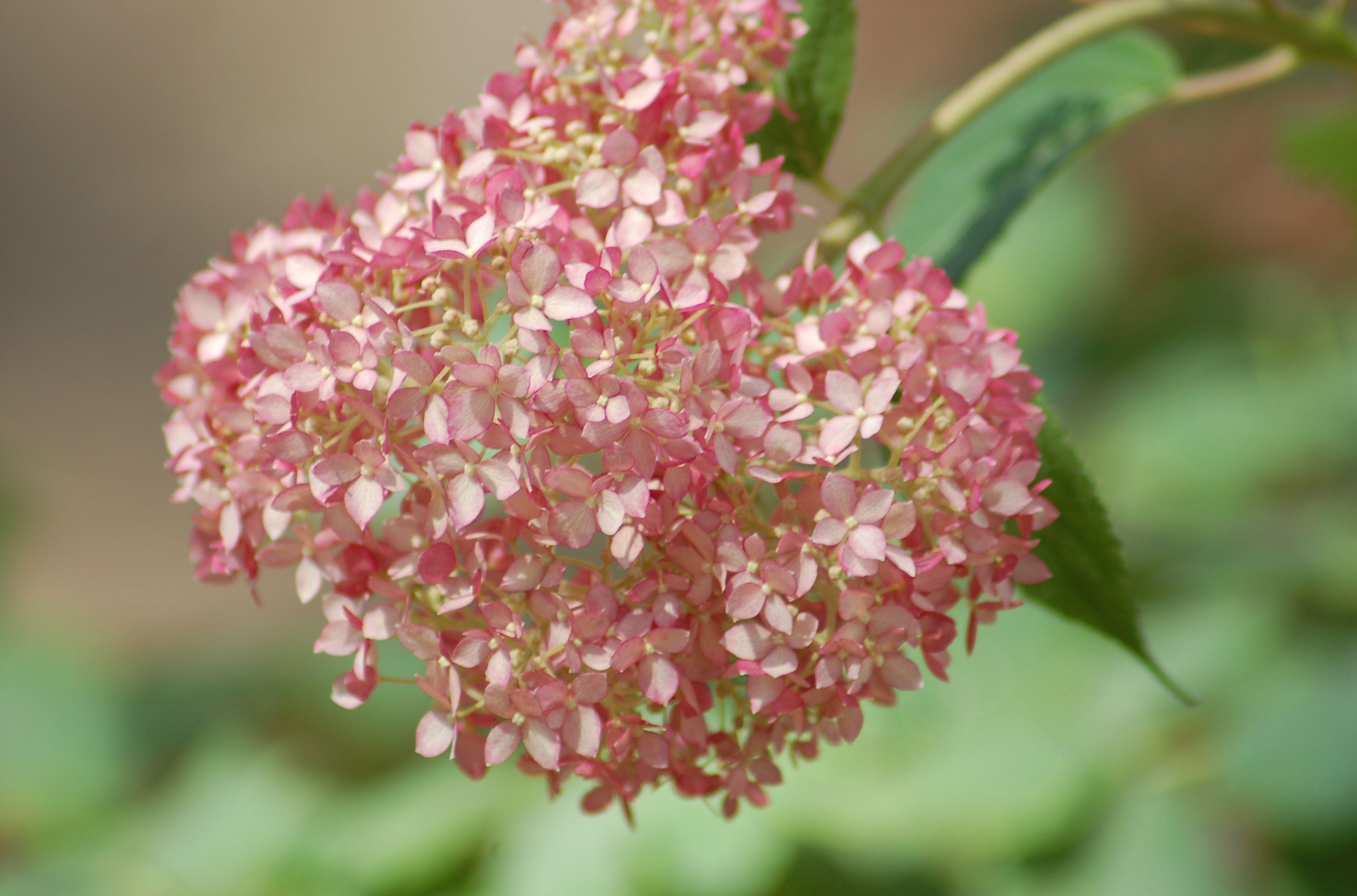 Invincibelle Spirit Hydrangeas Pink Annabelle Bushes