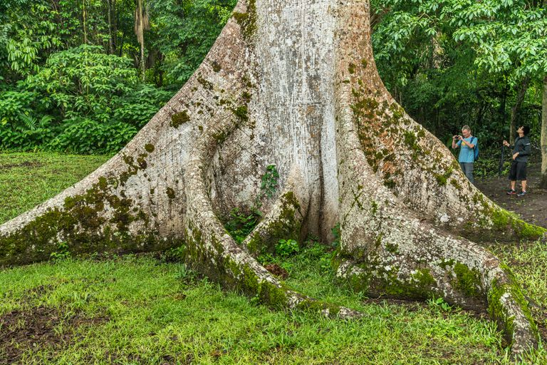 Ceiba Tree at Caracol, Belize