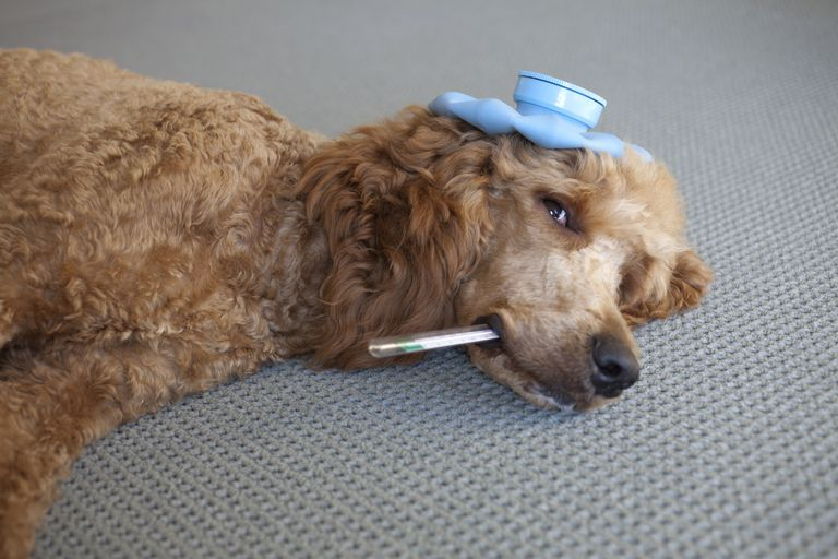 Poodle with a thermometer in it's mouth and an ice pack on it's head