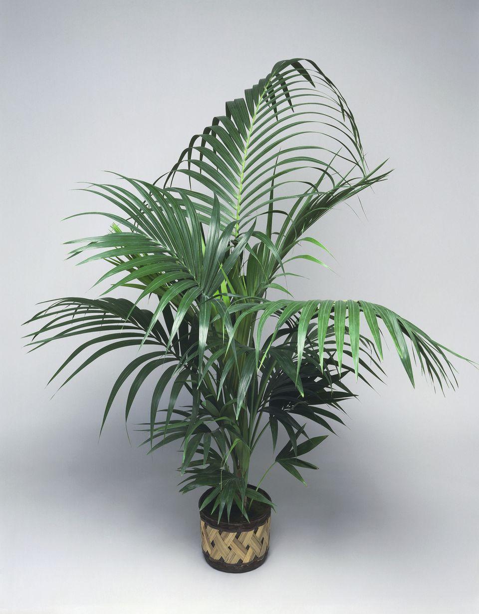 Close-up of a Kentia palm (Howea forsteriana)