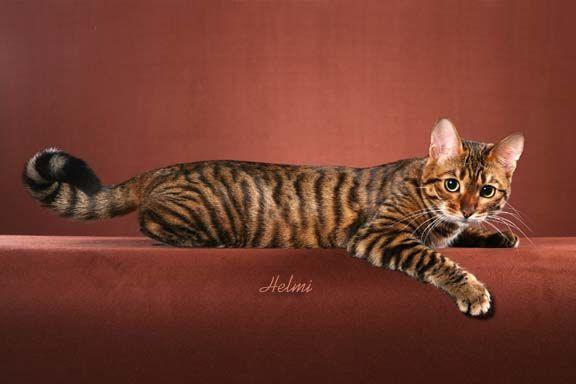 Photo of Toyger Cat