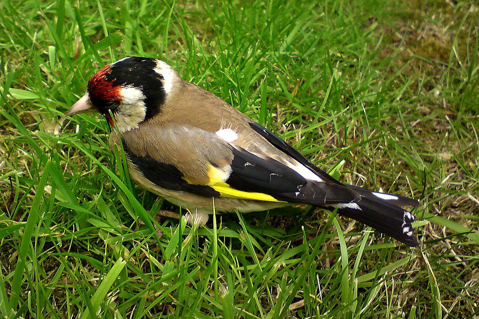 A european goldfinch standing in the grass