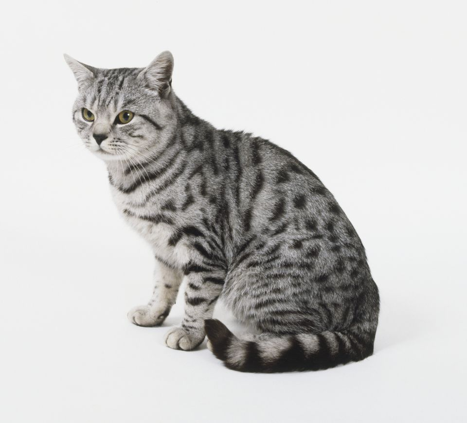 American shorthair cat on a white background