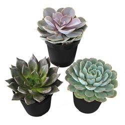 9 cm. Assorted Desert Rose Echeveria Succulent Plant