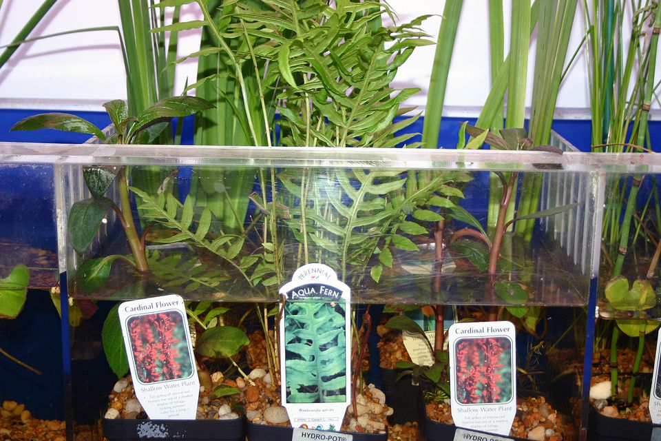 aquarium plants that grow in and out of water