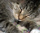Sweetie Pie an FIV positive senior cat by Kris Klein for Animal Rescue and Adoption Society