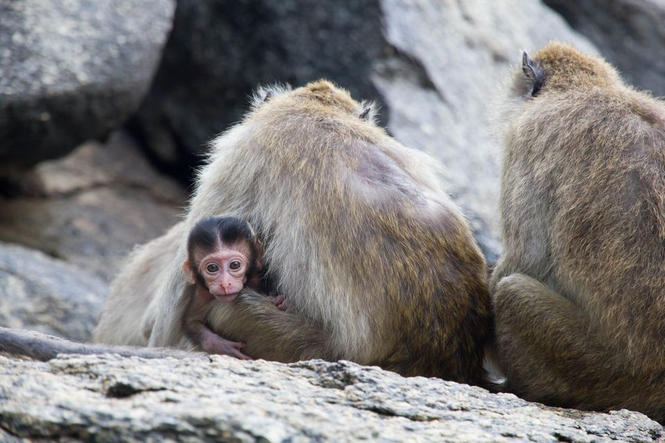 Monkeys at Khao Takiab (Chopsticks hill)